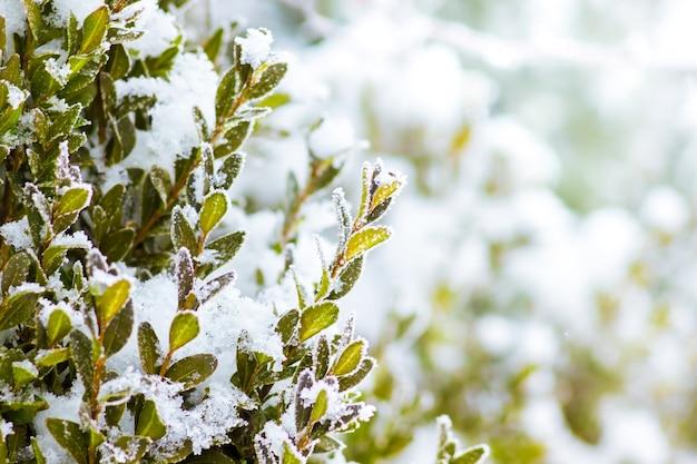 緑の葉が雪で覆われたツゲの木の茂み_