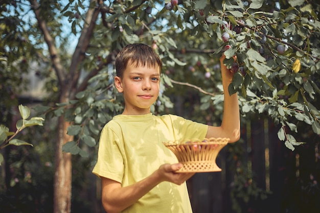 The boy collects ripe plum from a tree in the garden in a wooden basket.