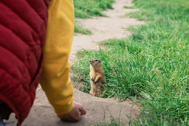 少年手給餌ホリネズミ