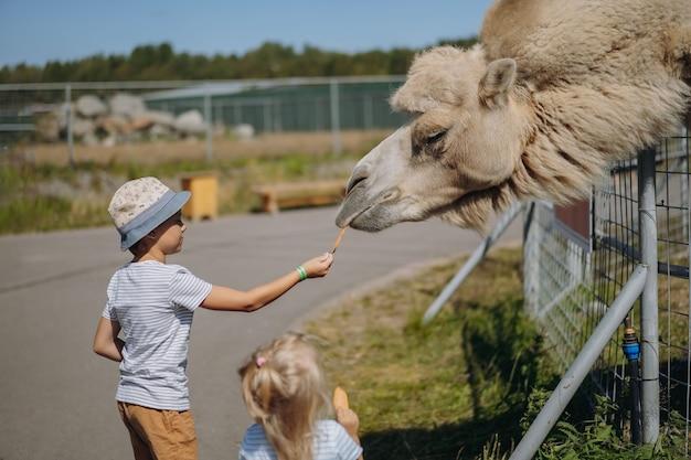 Мальчик в летней шапке кормит верблюда морковью в зоопарке карелии. фото высокого качества