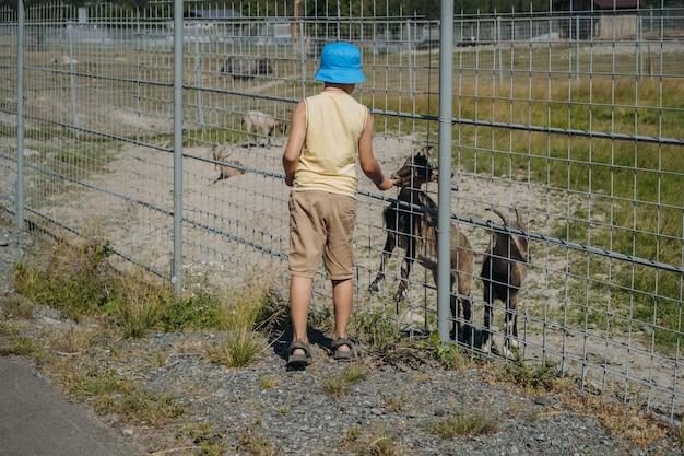 夏の帽子をかぶった少年は、カレリアン動物園でヤギにニンジンを与えます。高品質の写真