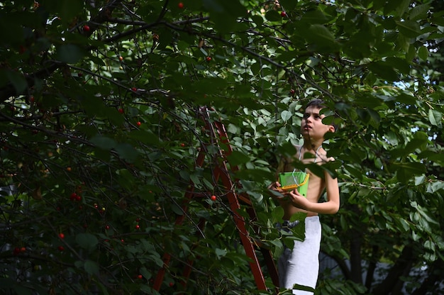 작은 양동이를 들고 사다리를 타고 있는 소년은 정원에서 체리를 선택합니다. 여름날 체리 수확
