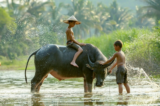 A boy in a rural area of thailand were showering their buffalo after the rice fields were completed each day