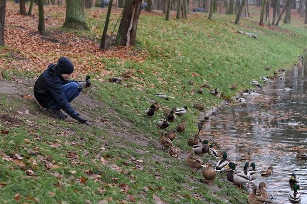 Мальчик сидит на берегу возле городского озера и кормит диких уток кряквы холодной осенью.