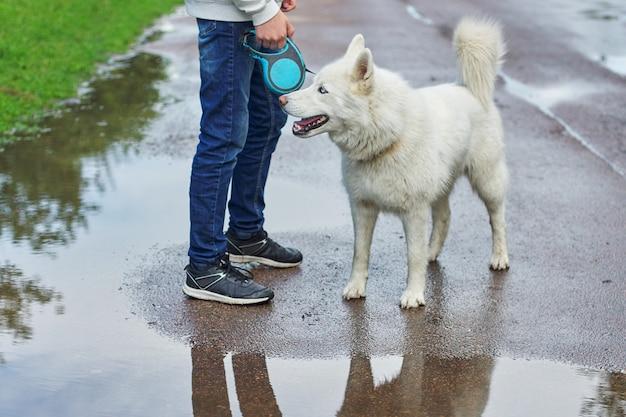 Boy walking a dog on rainy day, white husky with male