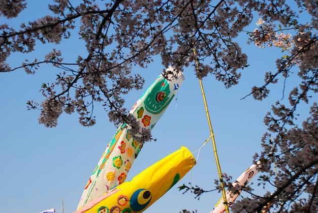 День мальчиков в японии. вишня в цвету.