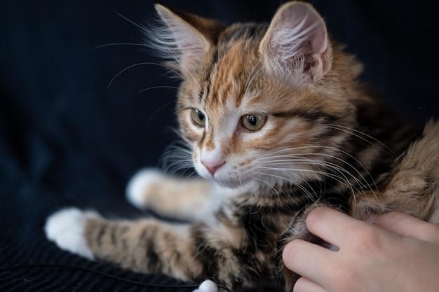 Мальчики рука домашнее животное молодой курильский бобтейл котенок