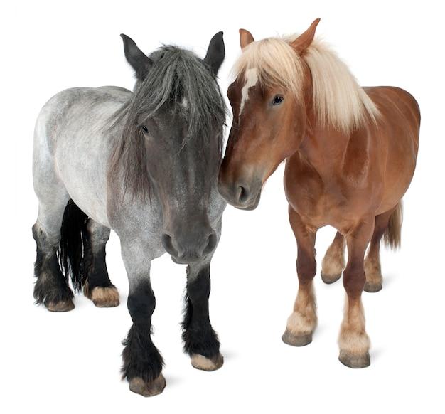 ベルギーの馬、ベルギーの重い馬、brabancon、ドラフト馬の品種、分離された白の上に立って