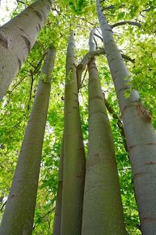 レース樹皮brachychiton変色オーストラリア