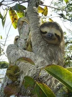 Bradypus pygmy toed pygmaeus sloth three