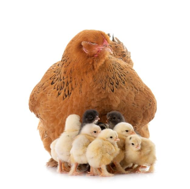 ブラマ鶏と雛