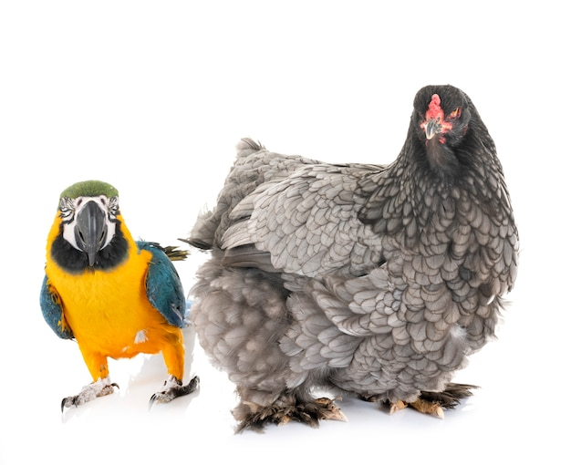 Brahma chicken and parrot