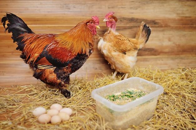 Петух брахма и трансильванский цыпленок с голой шеей