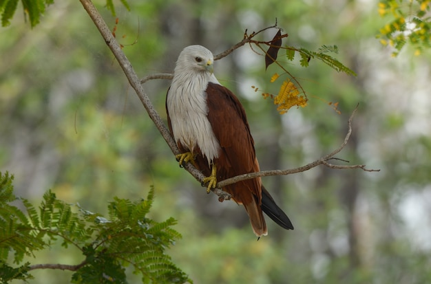 Brahminy kite in action relax on tree branch.