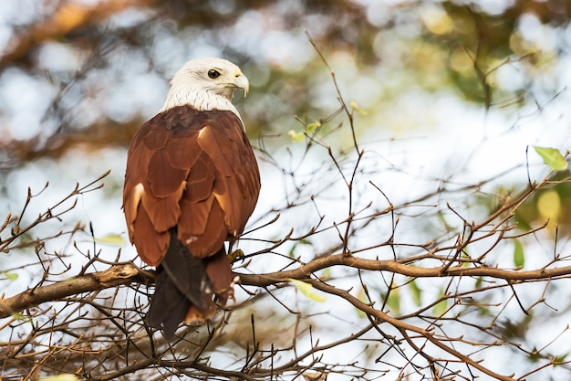The brahminy kite (haliastur indus)