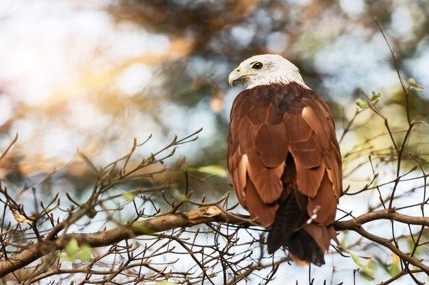 The brahminy kite (haliastur indus)