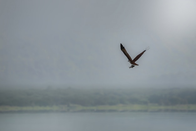 Brahminy kite (red-backed sea-eagle) flying and catching fish in the lake. copy space