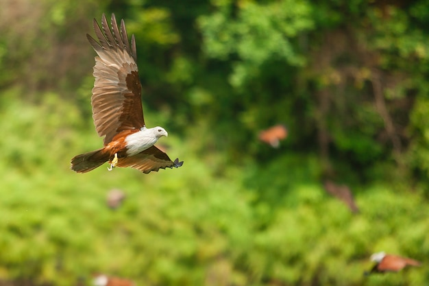 Brahminy kite or red-backed sea-eagle flying near the forrest.