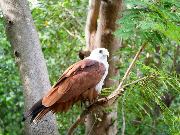 Brahminy kite, red-backed sea-eagle (haliastur indus)