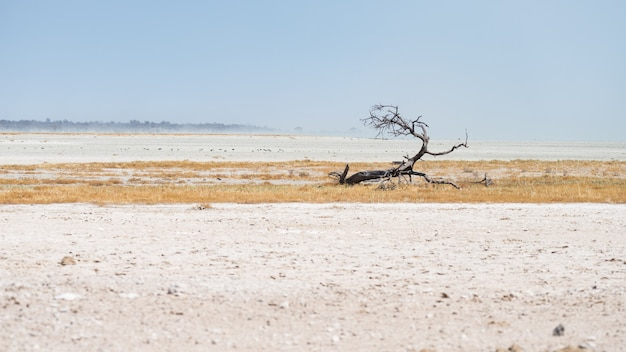 Braided acacia tree in desert landscape in the etosha national park, travel destination in namibia