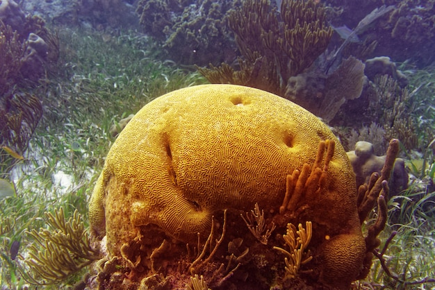 Brain coral great mayan reef in riviera maya