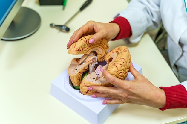 Brain functions model for education. doctor holds in his hands a model of the human brain.