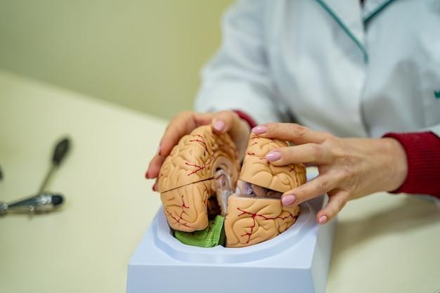 교육용 뇌 기능 모델. 의사는 인간 두뇌의 모델을 손에 들고 있습니다.