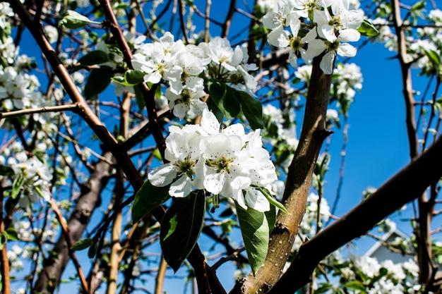 Branch apple pear tree flower