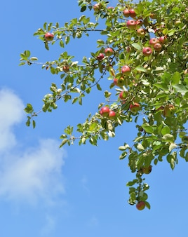 Branch of apple tree with red fruits growing on blue  sky background