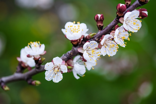 Branch of apricot tree.