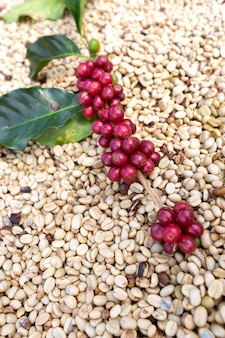 Branch of arabica coffee berries ,agriculture economy industry business