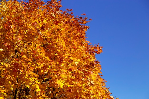 Branch of autumn tree witn orange leaves Premium Photo
