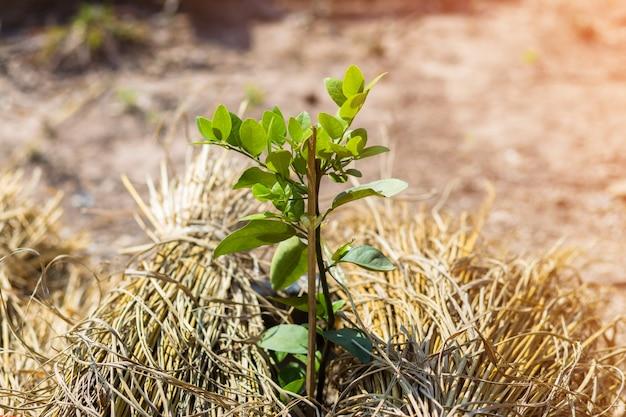Branch of bergamot tree