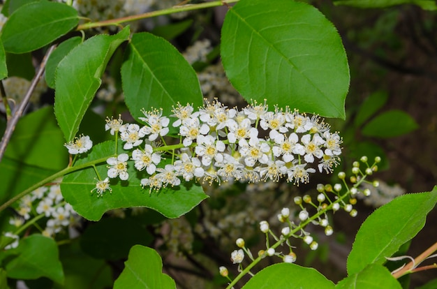 Branch of bird cherry with white flowers on a green background.