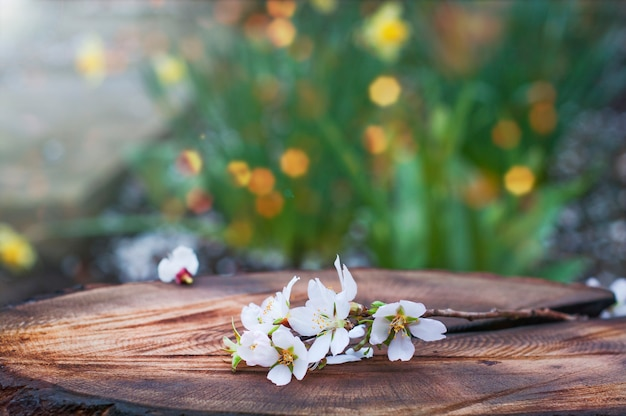 Branch of blooming almonds lies on a tree stump