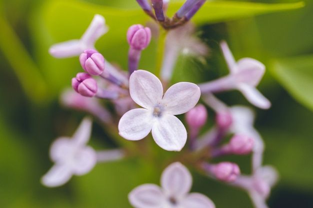 A branch of blooming lilac on a background of green leaves