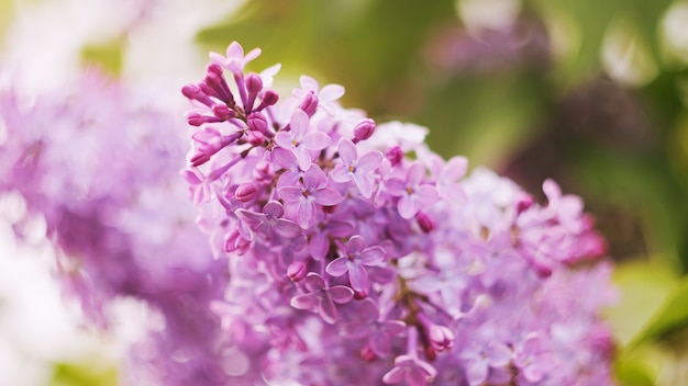 A branch of blooming lilac close-up. small flowers. the concept of spring, summer. banner 16: 9. copyspace.