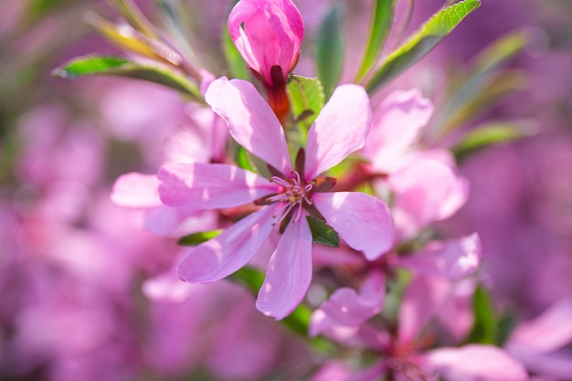 Branch of blooming pink almonds in the garden close up