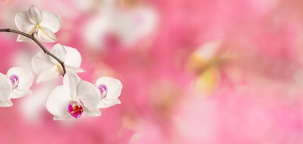 Branch of blooming white phalaenopsis orchid close-up on a pink flower spring background