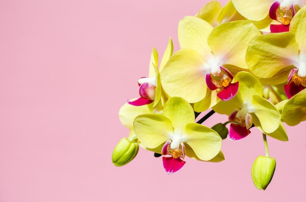 A branch of a blooming yellow phalaenopsis orchid on pink background