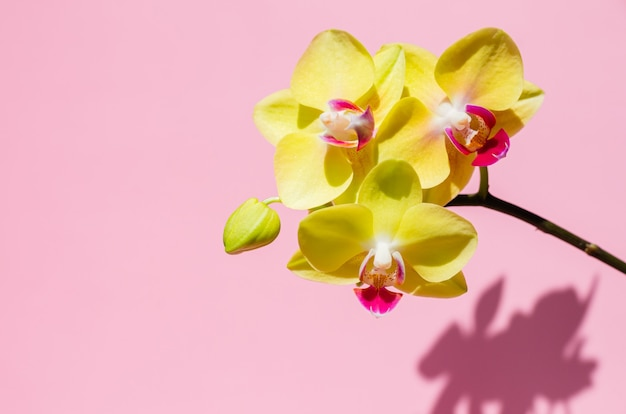 A branch of a blooming yellow phalaenopsis orchid with its shadow on pink background