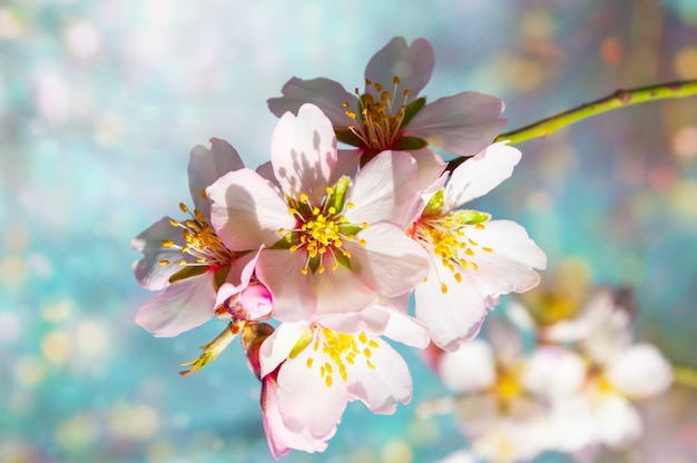 A branch of blossoming almonds