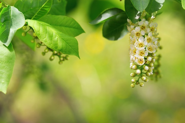 Branch of a blossoming bird cherry. floral natural background.