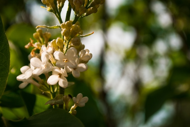 Branch of blossoming lilac