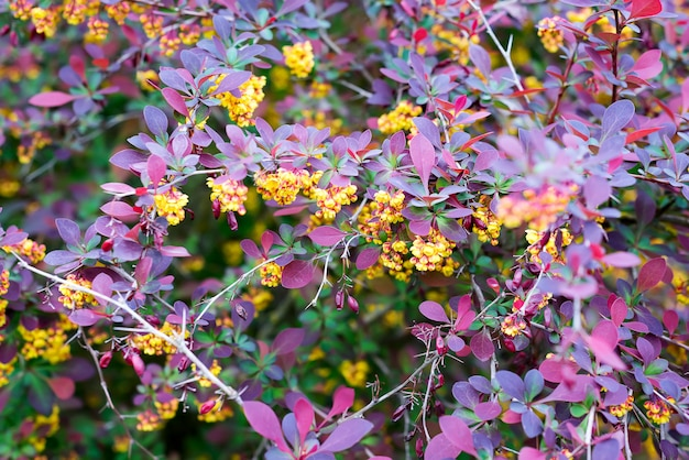 Branch of a blossoming spring berberis ottawensis superba