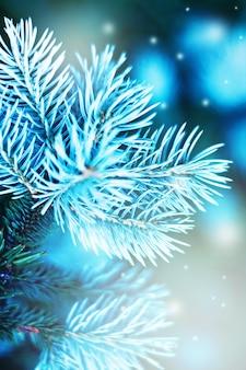 Branch of blue fir tree