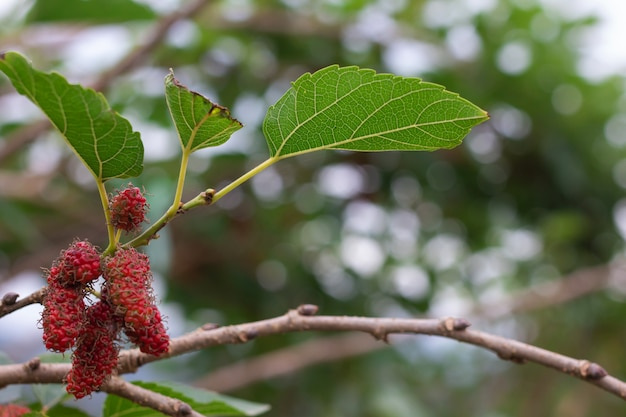 Branch of blue mulberry on tree