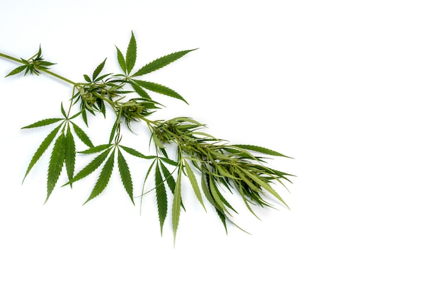 Branch cannabis with five fingers leaves