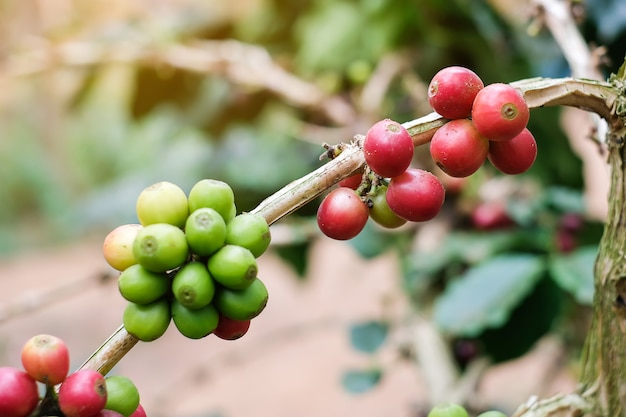 Branch of cherry coffee, red or ripe and green bean arabica berries.