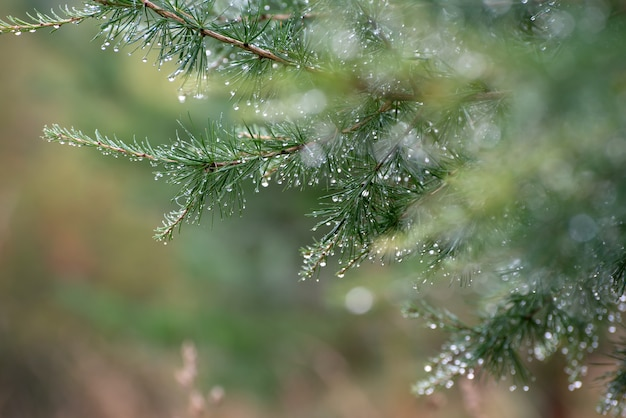 Branch of a coniferous tree with drops of water